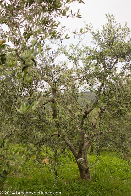 Olive tree with name plaque