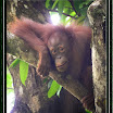 Oranghutan --- Pongo pygmaeus-02.jpg