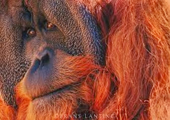 Amazing Pictures of Animals, Photo, Nature, Incredibel, Funny, Zoo, Bornean orangutan,Pongo pygmaeus, Primates, Alex (5)