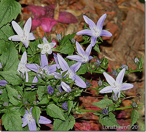 Campanula_Blue_Waterfall