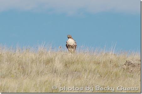 10-05-11 Hawks near Mora 05