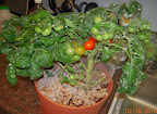 13 week coirstone dwarf tomatoes - ripening on both plants, none picked yet, heavily laden