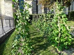2014.09.09-053 haricots de Soissons