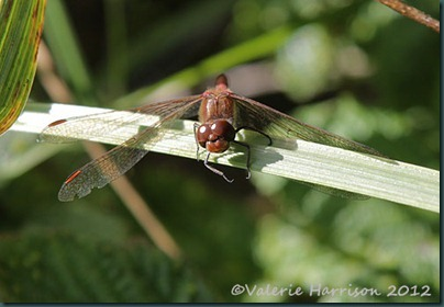 6-common-darter