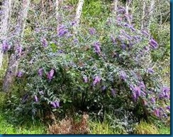 butterfly bush exscapee