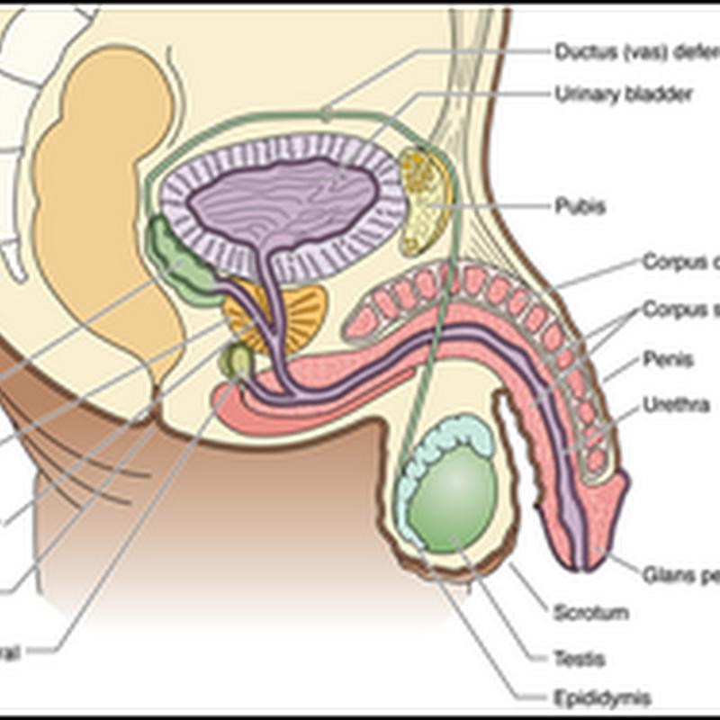 Histology Of Male Genital System Semester Vi 2012 Dr Wayan
