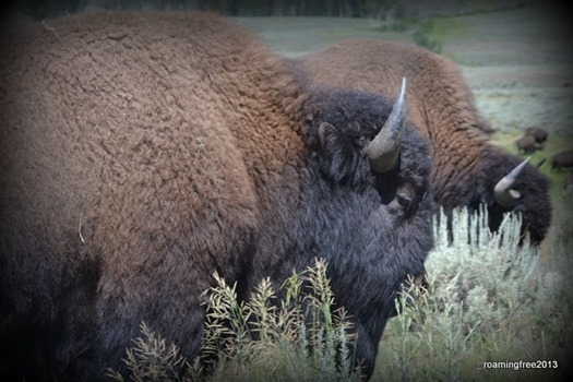 Bison - up close and personal!