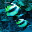 motylki - heniochus intermedius parka - Red Sea bannerfish.jpg