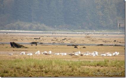 Glaucous Wing Gulls