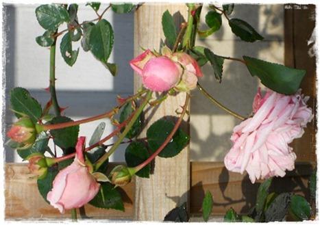 5 sista rosen