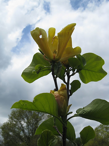 This is a yellow magnolia - 'Judy Zuk', named for the former president of the Brooklyn Botanic Garden. It is special even among yellow magnolias for the pinkish flush at the base of each tepal.