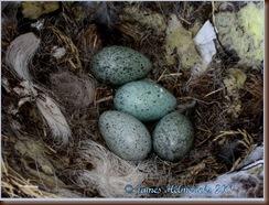 CORA_Eggs1-1108