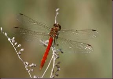 Amazing Pictures of Animals, photo Nature, exotic, funny ,incredibel Zoo, Dragonfly, Insecta, Alex (4)
