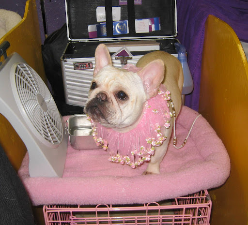 A French Bulldog is pretty in pink.  Apparently she is a fan of Francesca and Sharkey's 