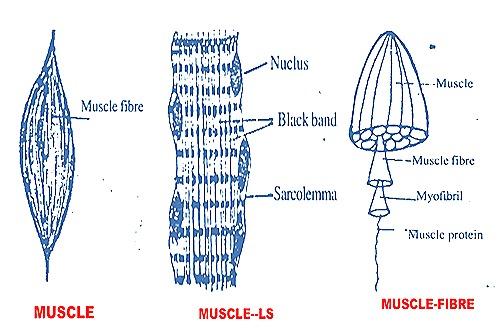 muscle-fibre