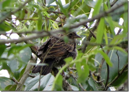 Fledgling Red-wing