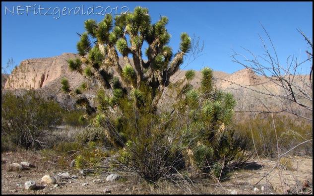IMG_0780Joshua TreeAndCreosote Bush