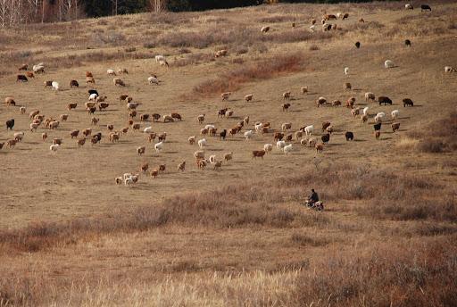 Xinjiang, Baihaba - Regroupement du troupeau à moto