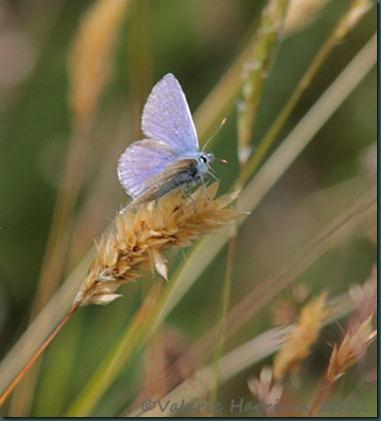 24-common-blue