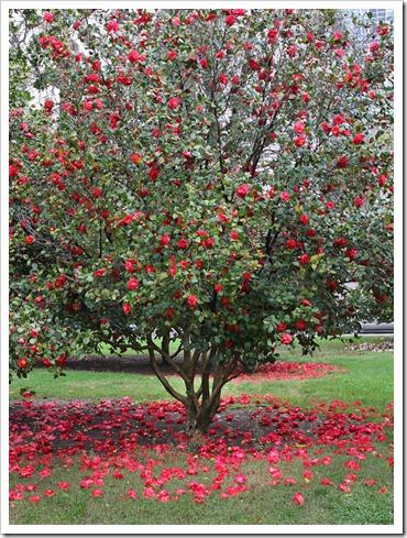 120317_Capitol_Park_Camellia-japonica_42