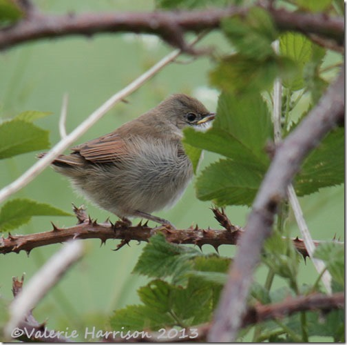 5-baby-whitethroat