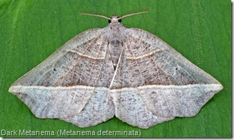 Dark Metanema (Metanema determinata)