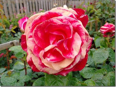 Rosa Silver Jubilee1