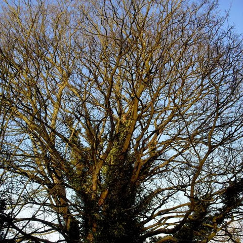 sycamore - laughton lane - follow a tree
