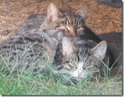 1 new kitties 10.2011 both kitties under camper snuggling2