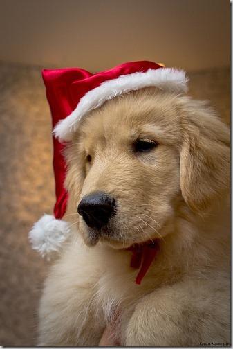 perro gorritos navidad (28)