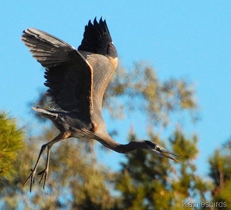 8. Great blue heron dinosuar-kab