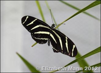 zebra longwing 2