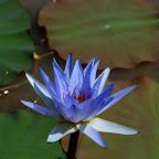 angkorsite_flower_1 (12).jpg
