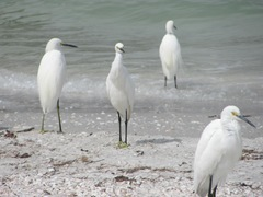 Florida Sanibel egrets