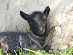 Lambing - Ayling 5.jpg