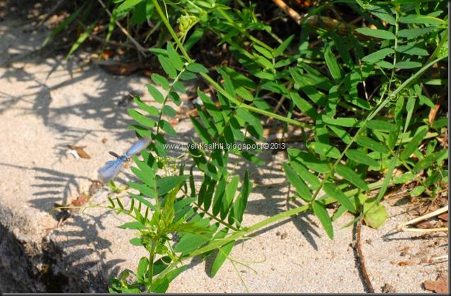 sunnuntain ötökkä kuvat outo perhonen toukka 096