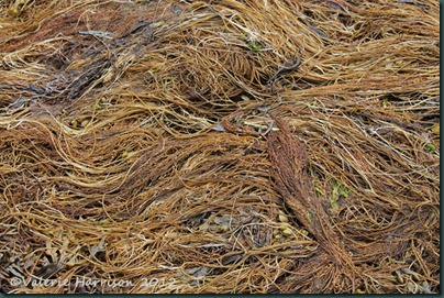 7-wireweed