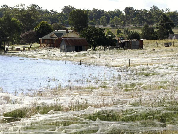 Spider webs cover the Australia landscape, 7 March 2012. After a week of record rain, floodwaters across eastern Australia have forced the ground-dwelling spiders&mdash;and at least 13,000 people&mdash;to flee their homes. The rampant webs blanketing vast stretches of Wagga Wagga are likely a dispersal mechanism that allows spiders to move out of places where they'd surely be drowned. Daniel Munoz / Reuters