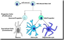 Stem Cells - Neural