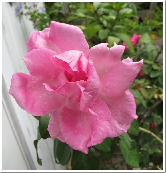 05-01-paul-mc-rose3