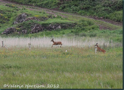 12-roe-deer