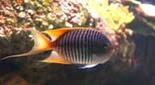 Biodiversité ange lyre zébré du Pacifique