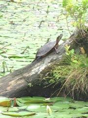 turtle sunning1