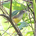 Yellow-bellied%252520prinia