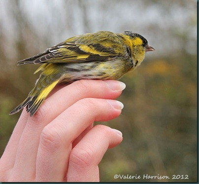 Mike-letting-siskin-go