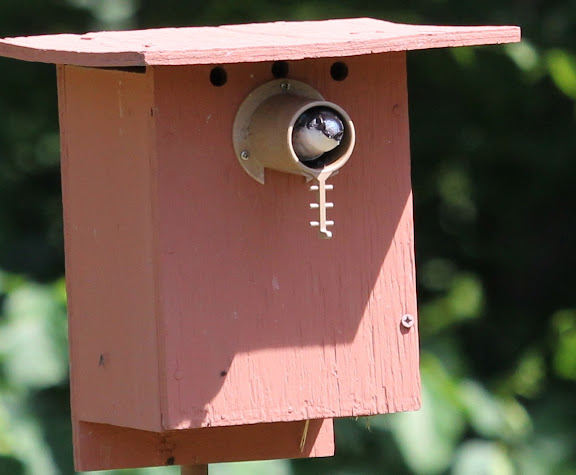 Hello, you are in my yard. (Tree Swallow in nest box)