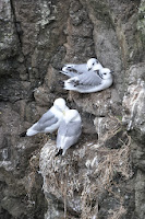 Luca_vanDuren_Kittiwake nests Threshnish isles.JPG