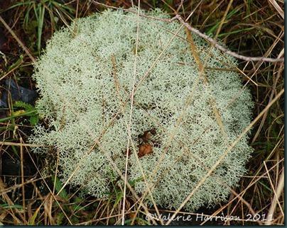 12-lichen