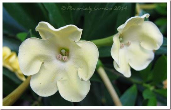 04-29-brunsfelsia