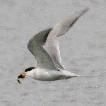 7-26-09, Forster's Tern with catch
